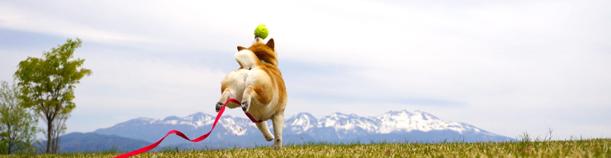 柴犬マコと、